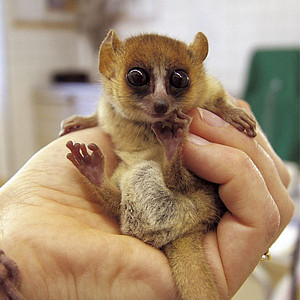 Goodman's Mouse Lemur. Photo: R. Zingg