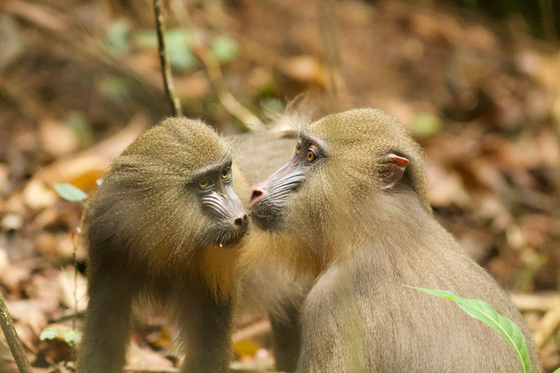 Is the similarity of facial features in mandrills a consequence of selection? Using up-to-date artificial intelligence scientists from the German Primate Center and the Institut des Sciences de l'Evolution de Montpellier tested this hypothesis. Photo: Paul Amblard