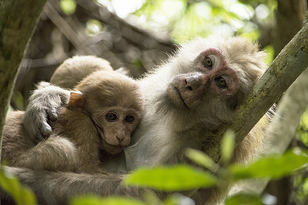 The unborn and the mammalian infant are highly dependent on maternal investment. The more independence the offspring gains, the weaker the effects of maternal stress on the offspring if such stress occurred late during pregnancy only. Photo: Kittisak Srit