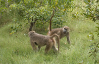 A female chacma baboon (rear) signals her submission to another female by raising her tail. Photo by Julia Fischer