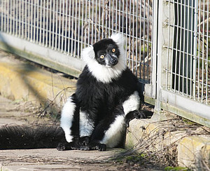 A black-and-white ruffed lemur sunbathing in the outdoor enclosure at the DPZ. The animals are active in the field both during the day and at twilight. Photo: Anton Säckl