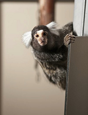 The Stem Cell Research at the DPZ works primarily with marmosets. Photo: Anton Säckl