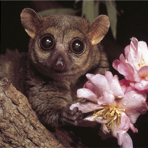 Northern Giant Mouse Lemur. Photo: D. Haring