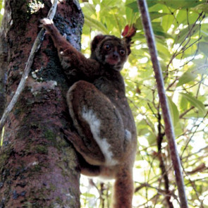 Southern Woolly Lemur. Photo: I. Norscia