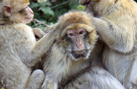 "An old female Barbary macaque at ""La Forêt des Singes"" in Rocamadour, France, being groomed. Photo: Julia Fischer"