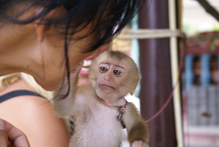 Macaques are often kept as pets in Asia. Due to their close contact with humans, they can infect themselves with yaws and thus represent a contagion for humans. Photo: Francisco / Fotolia