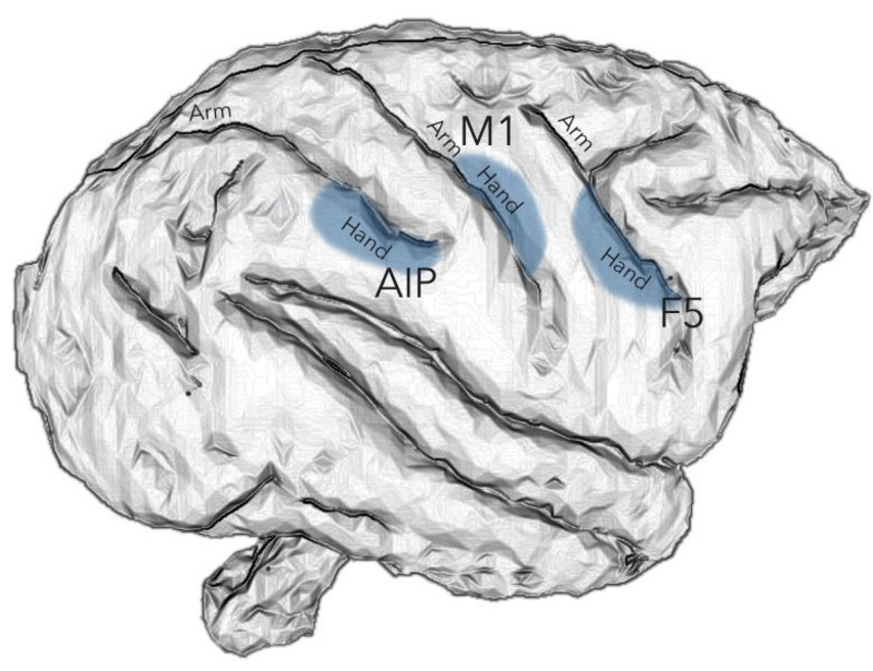 Hand movements in the primate brain are controlled by the brain areas AIP, F5 and M1. Figure: Stefan Schaffelhofer