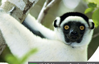In addition to Verreaux's Sifakas (Propithecus verreauxi), the Kirindy Forest is home to seven other lemur species. Photo: Manfred Eberle