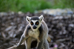 The photo shows a ring-tailed lemur.