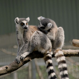 Ring-tailed lemurs in the outdoor enclosure at the DPZ. Photo: Margit Hampe