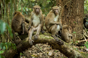 Several subadult male Assame macaques in Thailand. Photo: Kitisak Srithorn