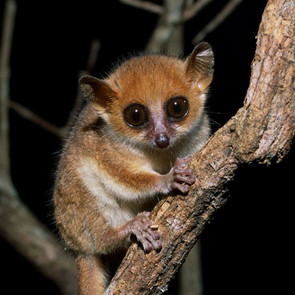 Madame Berthe's Mouse Lemur. Photo: Manfred Eberle