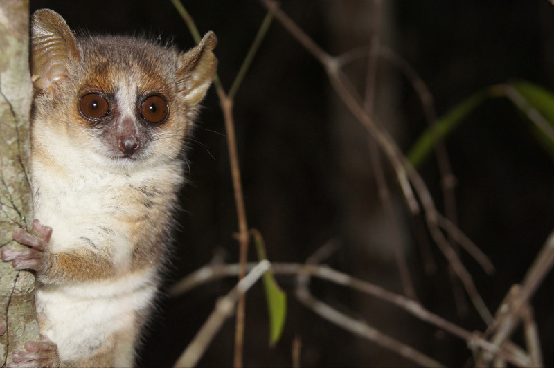 A Grey mouse lemur (Microcebus murinus) looks out from behind a tree. Photo: Anni M. Hämäläinen