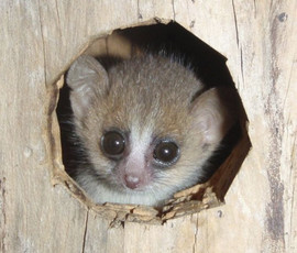 A three-week-old gray mouse lemur in an artificial nest box. Photo: Elise Huchard