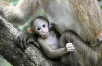 An infant Assamese macaque being nursed in the hill evergreen forest of Thailand. Photo: Andreas Berghänel