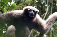 Skywalker-Gibbon (Hoolock tianxing), a new primate species from China and Myanmar described in 2017. Photo: P.-F. Fan
