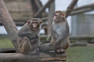 Two rhesus macaques (Macaca mulatta) at the animal husbandry at the German Primate Center. Photo: Anton Säckl