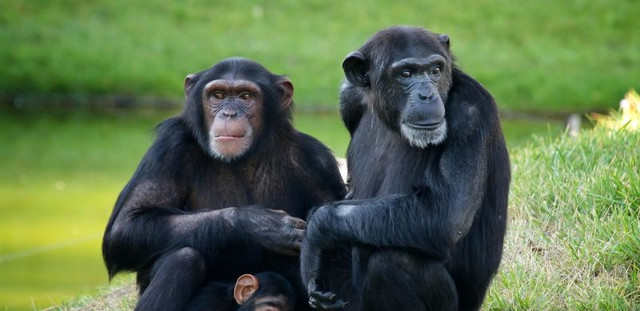 Drei Affen Wikipedia