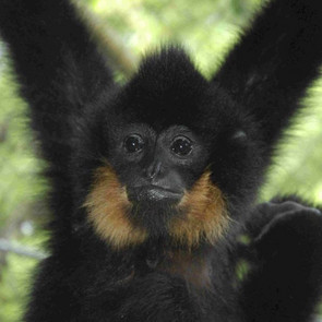 Northern Yellow-cheeked Gibbon, male. Photo: Tilo Nadler