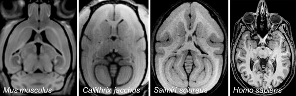 MRI images (T1-weighted) of the brain of a mouse (Mus musculus), a common marmoset (Calitrix jacchus), a squirrel monkey (Saimiri sciureus) and a human (Homo sapiens). Picture: Susann Boretius