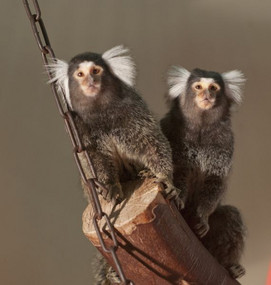 Common marmosets in their enclosure at the DPZ. Photo: Anton Säckl