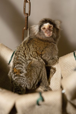 A common marmoset in an outdoor enclosure at the DPZ. Photo: Säckl