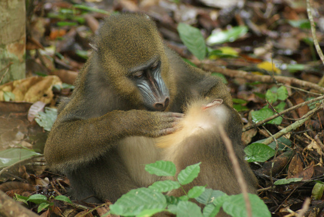 A mandrill (Mandrillus sphinx) grooming a conspecific at the neck. A transmission of gastro-intestinal parasites while grooming this part of the body is less likely than when grooming the peri-anal area.  Credit: Nory El Ksabi