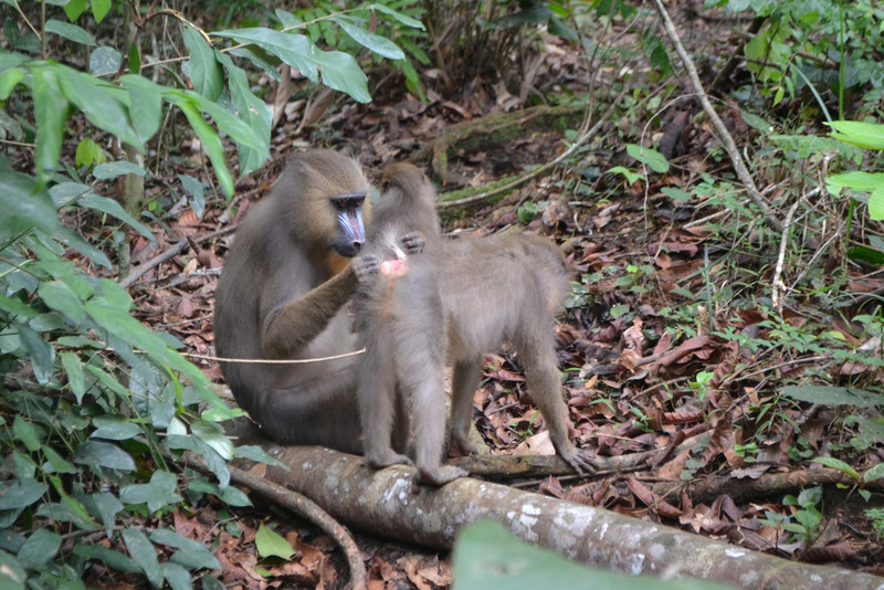 A mandrill (Mandrillus sphinx) grooming a conspecific at the peri-anal area. A transmission of gastro-intestinal parasites while grooming this part of the body is very likely. Credit: Alice Percher