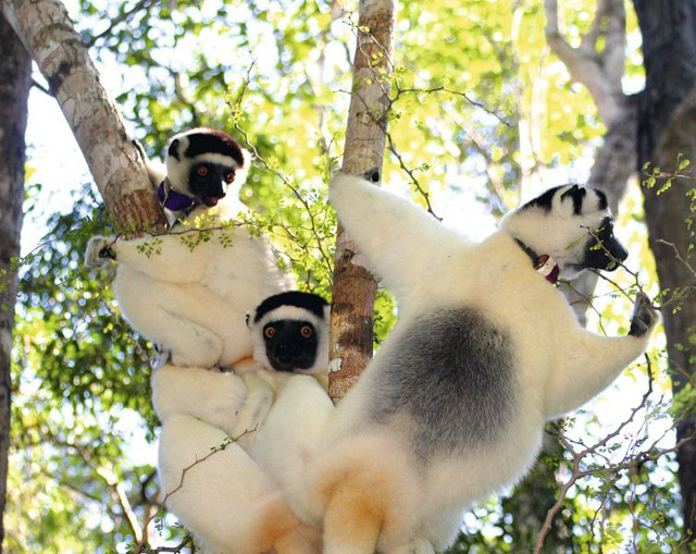 A group of Verraux's sifakas (Propithecus verrauxi) foraging in the Malagasy forest. Photo: Claudia Fichtel