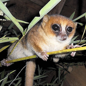 Marohita Mouse Lemur. Photo: Bellarmin Ramahefarsoa