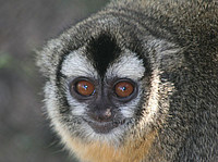 An owl monkey (Aotus azarae) in South America. Image: C. Valeggia