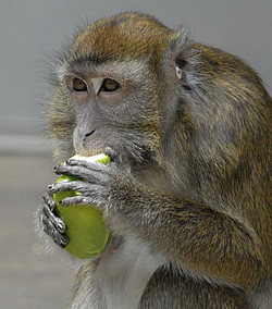 A long-tailed macaque in the outdoor enclosure at the DPZ tastes a fruit. Photo: J+S