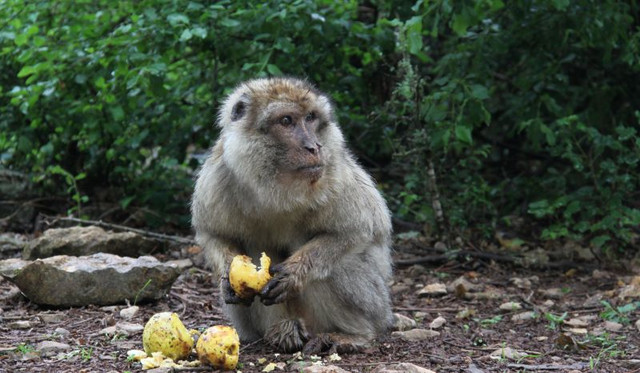 "A very old male Barbary macaque at ""La Forêt des Singes"" in Rocamadour, France, is feeding. Photo: Julia Fischer"