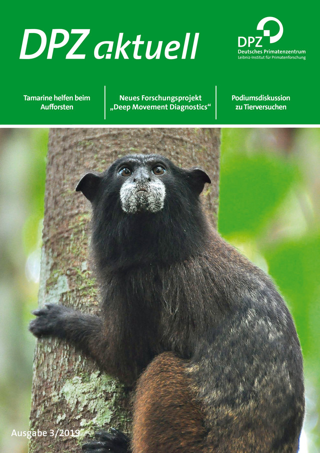 A black-fronted tamarin (Leontocebus nigrifrons) on the cover page of the issue 3/2019. Photo: Andrea Schell, Layout: Heike Klensang