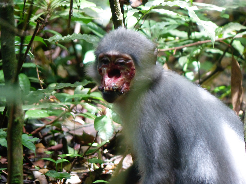 An adult female sooty mangabey (Cercocebus atys atys) in Taï National Park, Côte d'Ivoire infected with yaws. Photo: Jan Gogarten/Taï Chimpanzee Project