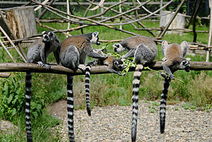 A group of ring-tailed lemurs in the outdoor enclosure at the DPZ. Photo: Margrit Hampe
