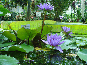 Water lilies at Victoria building of the Botanical Garden in Göttingen