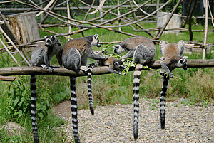 Ring-tailed lemurs in their outdoor enclosure at the DPZ. Photo: Margit Hampe