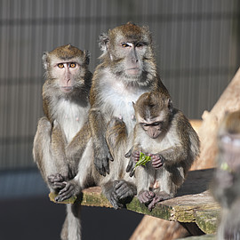 Macaca fascicularis in a breeding group at the German Primate Center. Photo: Anton Säckl