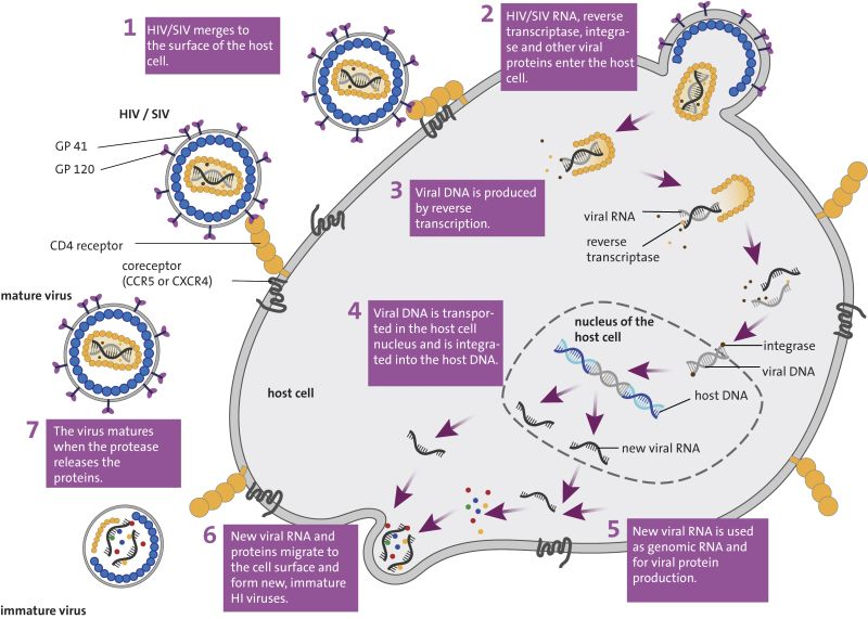 Replication cycle of HIV/SIV. The virus replicates in the body's own CD4+ T helper cells. Image: Luzie J. Almenräder