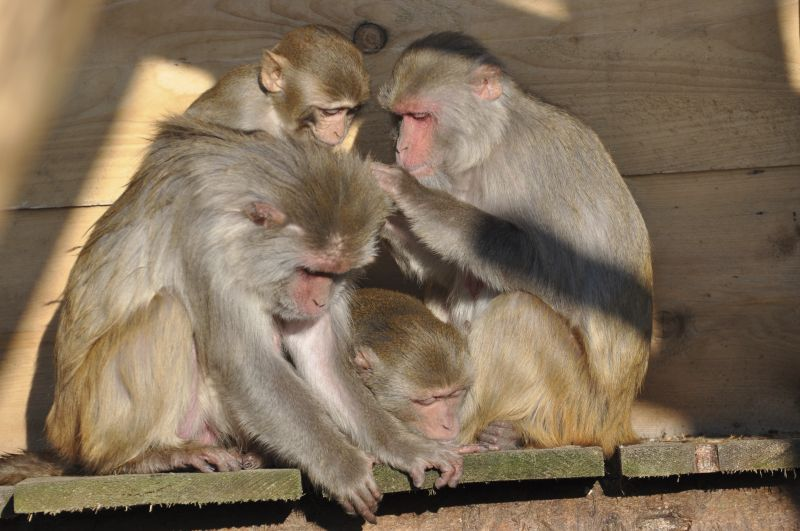 Rhesus monkeys grooming each other in the outdoor enclosure of the German Primate Center. Photo: Karin Tilch