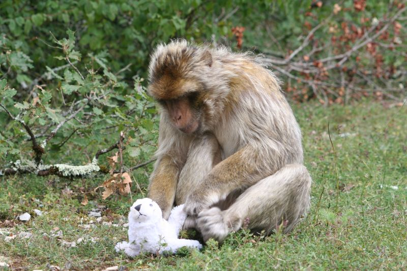 "Barbary macaque (Macaca sylvanus) with toy at ""La Forêt des Singes"" in Rocamadour, France. Photo: Laura Almeling"