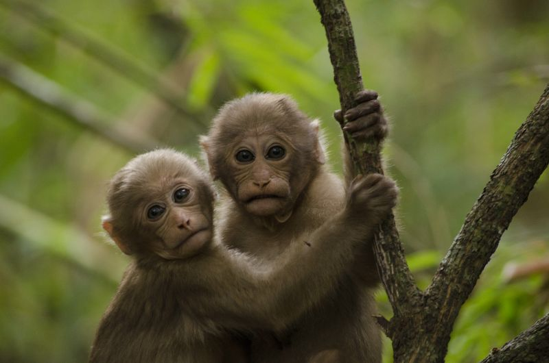 Two young Assamese macaques in the northeastern hill evergreen forest of Thailand. Photo: Kittisak Srithorn