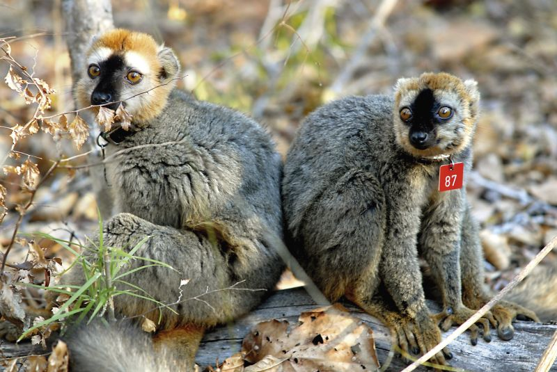 Two red-fronted lemurs (Eulemur rufifrons) in Madagascar. Photo: Luca Pozzi