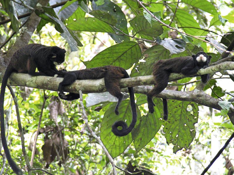A group of moustached tamarins (Saguinus mystax). Photo: Laurence Culot