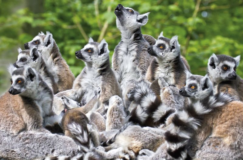 A group of attentive ring-tailed lemurs (Lemur catta). Photo: Christian Schlögl