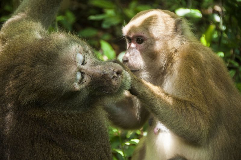 Two Assamese macaques (Macaca assamensis) in Thailand grooming each other. Photo: Kittisak Srithorn