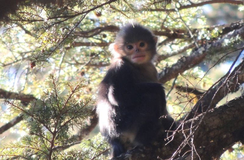 Infant Myanmar or black snub-nosed monkey. Photo: Shaohua Dong