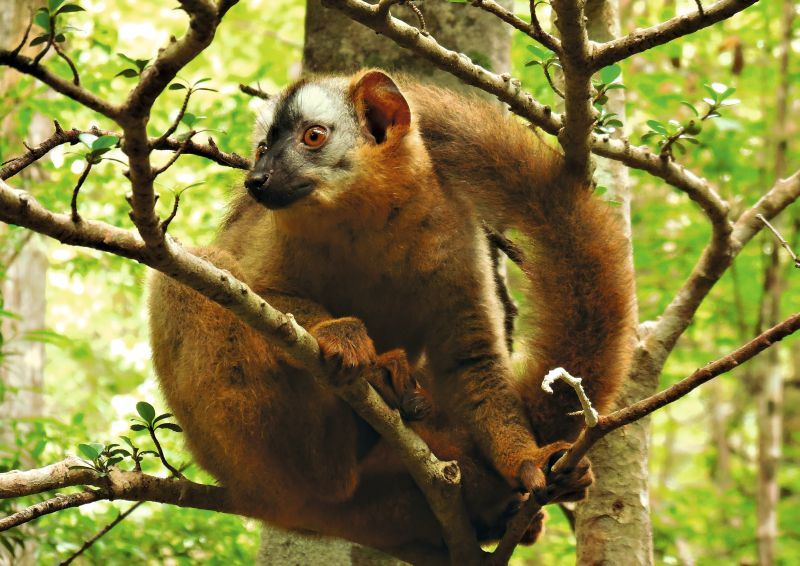Young female redfronted lemur (Eulemur rufifrons) resting in Kirindy forest, Madagascar. Photo: Louise Peckre