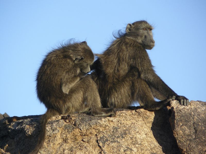 Two chacma baboons (Papio ursinus) of Augrabies Falls National Park, South Africa. Photo: Dana Pfefferle